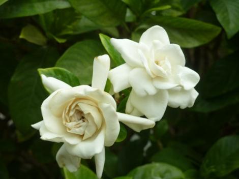New York Botanical Garden, Enid A. Haupt Conservatory, gardenias