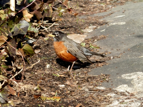 robin redbreast, Shakespeare Garden, Central Park