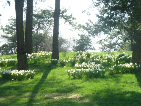 New York Botanical Garden, daffodil hill, trees