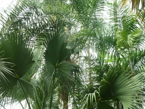 palm court, Enid A. Haupt Conservatory, green, Palm Sunday