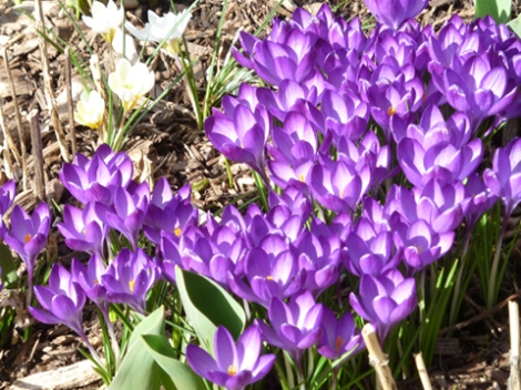 Central Park, Shakespeare Garden, Crocuses, Blue