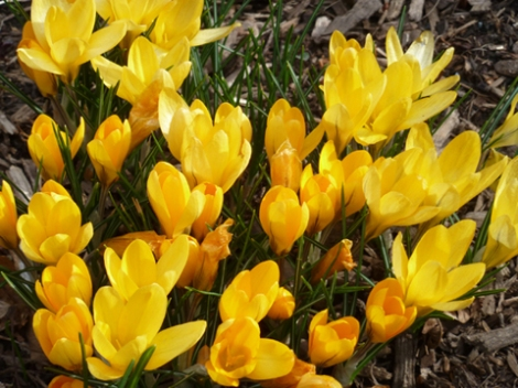 Central Park, Shakespeare Garden, Crocuses, Yellow