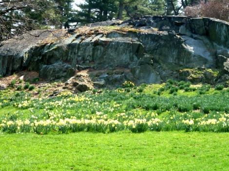 New York Botanical Garden, Bronx, rocks, daffodils, grass, yellow, green