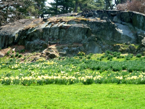 New York Botanical Garden, Bronx, rocks, daffodils, grass, yellow, green