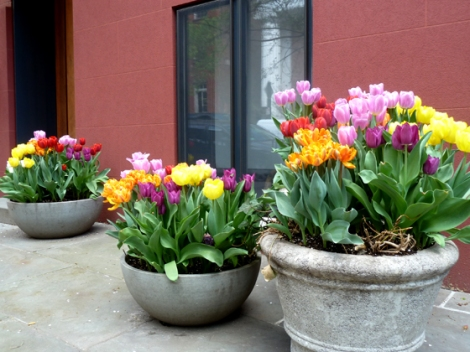 Tulips, Flower, Spring, Sidewalks, New York