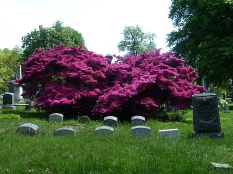 Azalea, Flowers, Green-Wood Cemetery, Cervantes, St Luke's In-The-Field