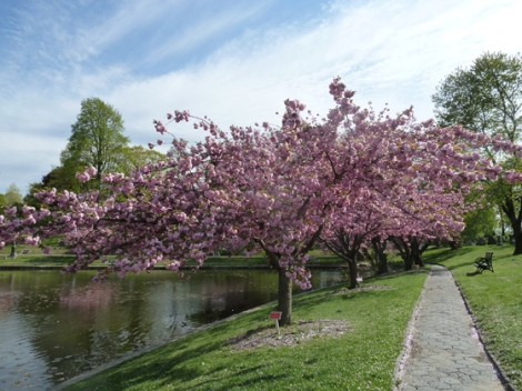Green-Wood Cemetery, a National Historic Landmark, Brooklyn, Kwanzan cherry tree blossoms, guided tours, trolley tours