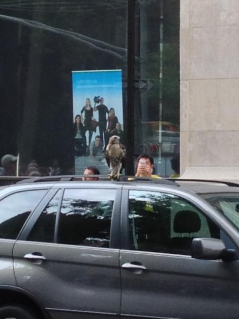 Peregrine Falcon, hawk, New York University, Elmer Holms Bobst Library, Fifth Avenue