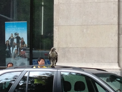 A New York City Hawk | walkaboutny