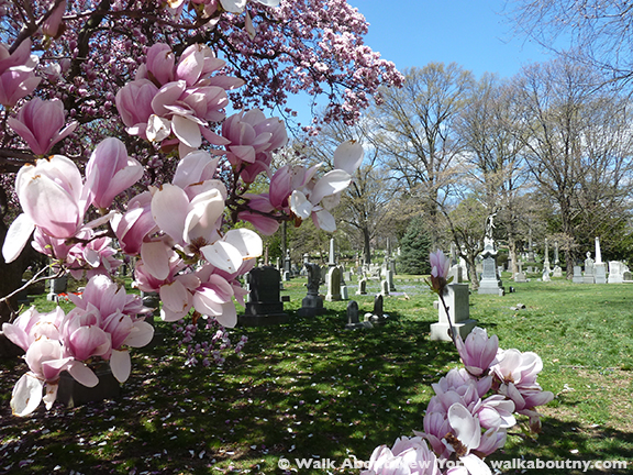 Magnolia magnificence walkaboutny at green wood cemetery a national historic landmark in brooklyn the magnolia trees with their large flowers in pink or white were in full bloom during mightylinksfo
