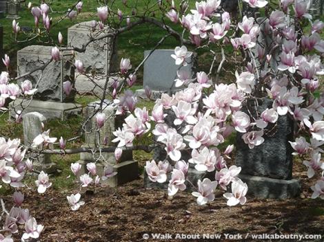 Magnolias, Green-Wood Cemetery, Brooklyn, Cemetery, Trees, Gravestone, Gay Graves Tour
