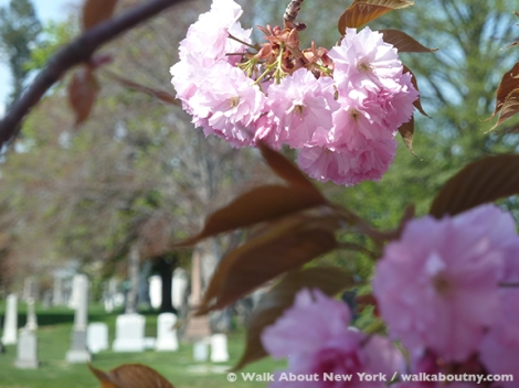 Gay Graves Tour, Green-Wood Cemetery, Kwanzan Cherry Tree, Blooms, Blossoms, Pink, Showy, Cemetery, Cherry Tree, Spring