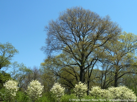 New York Botanical Garden, the Bronx, Spring, Daffodils, Cherry Trees, Daffodil Hill, Walk About New York, Specialty Tours, Lilacs